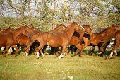 .batch Of Beautiful Horses Running Across On Pasturage