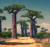 Rural african road among baobab trees. Madagascar