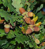 Acorns Oak, Southern Bohemia