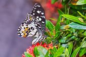 picture of common  - Close up of Common Lime butterfly or Lemon butterfly or Lime swallowtail  - JPG