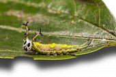Common Pasha Caterpillar