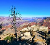 Grand Canyon And Old Dry Tree Foreground, Arizona, Usa