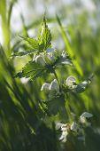 Nettle's bloom under the sun