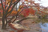 Japanese maples in autumn color