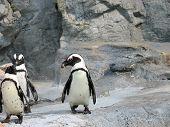 3 cute penguins poster