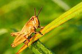 Locust in a grass