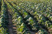 Napa Cabbage farm