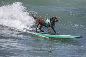 Surfing Chocolate Lab
