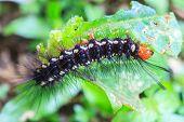 Black Caterpillar worm