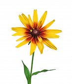 Flower Rudbeckia Isolated On White Background