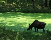 stock photo of boggy  - A moose wades in a boggy pond - JPG
