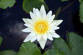 White Lotus Flower And Lotus Leaf