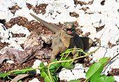Wild iguana eats fresh leaves.