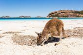 Kangaroo on a pristine western australian beach