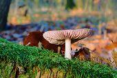 Goose Mushroom growing on moss