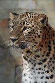 Persian leopard (Panthera pardus saxicolor).