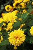 Thinleaf Sunflower (helianthus Decapetalus) In The Garden