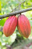 Cocoa pod on the tree