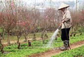 Unidentified gardener irrigating green shoots