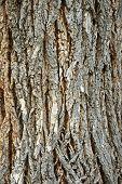Rough Cottonwood Bark