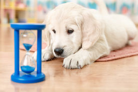 picture of labrador  - labrador retriever puppy watching at the hourglass - JPG