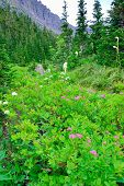 stock photo of conifers  - wild alpine flowers and conifer forest in front of the mountains of the glacier national park in summer - JPG