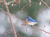 Eastern Bluebird In A Snowstorm