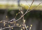 image of tit  - Long Tailed Tit taken on the River Dodder Dublin Ireland - JPG