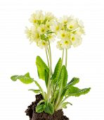 picture of plant species  - Oxlip - JPG