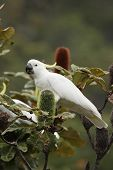 foto of cockatoos  - Sulphur - JPG