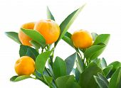 stock photo of tangerine-tree  - Tangerine tree branch  isolated on white background - JPG