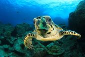 stock photo of sea-turtles  - Hawksbill Sea Turtle underwater on ocean coral reef - JPG