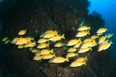 image of school fish  - School Bluelined Snapper fish - JPG