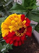 picture of rare flowers  - Half red - JPG