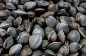 image of clam  - Dozens of hard shell - JPG