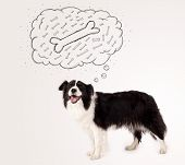picture of border collie  - Cute black and white border collie dreaming about a bone in a thought bubble - JPG