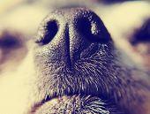 stock photo of chihuahua mix  - close up of a chihuahua - JPG
