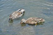 stock photo of gadwall  - Male and Female Gadwall Ducks - JPG