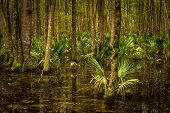 picture of saw-palmetto  - The flooded low country Palmetto forest of South Carolina during a recent trip to Edisto Island - JPG