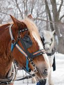 picture of sleigh ride  - Brown horse ready for sleigh ride close - JPG
