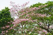 foto of trumpet flower  - Beautiful Pink Trumpet flower tree or Tabebuia heterophylla - JPG