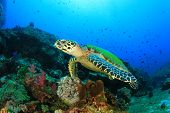 picture of hawksbill turtle  - Hawksbill Sea Turtle on coral reef - JPG