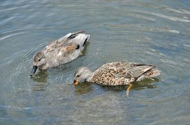 stock photo of gadwall  - Male and Female Gadwall Ducks - JPG