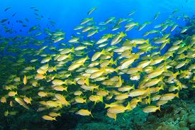 foto of school fish  - Fish shoal on coral reef  - JPG