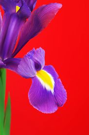 stock photo of purple iris  - beautiful purple flower iris - JPG