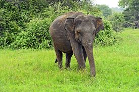 image of indian elephant  - Indian elephants in the wild natural habitat - JPG