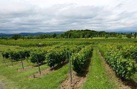 picture of grape  - Summer season background with grapes fields in the vineyard and nice blue cloudy sky background - JPG