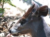 Japaneese Deer