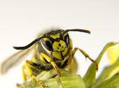 Macro Of A European Wasp Yellow And Black Markings