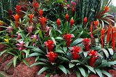 foto of sansevieria  - mass of red bromeliads flowers with other tropical plants - JPG